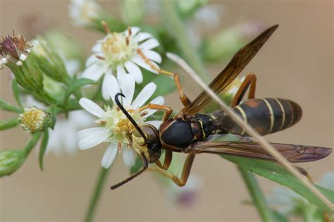 How To Make A Paper Wasp - nestwatch
