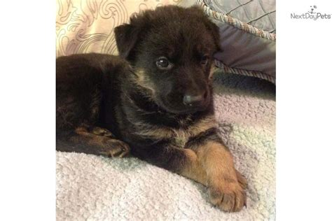 german shepherd puppies for sale in toledo ohio german shepherd puppy for sale near toledo ohio ae4a92ff 4b81