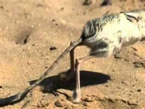 tutorial menggambar burung elang full download lucu burung gagak ini bisa tunggangi elang