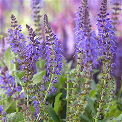 late blooming perennials perennial flowers bloom guide costa farms
