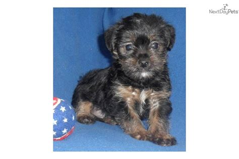 expectancy for yorkie poo meet shorkie a yorkiepoo yorkie poo puppy for sale for 400 shorty precious