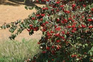 Bathroom Ideas For Small Areas washington hawthorn trees characteristics and care