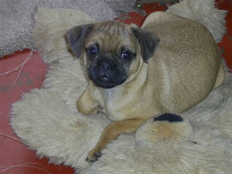 border terrier pug border terrier x pug lancashire pets4homes