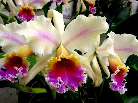 imagenes de flores naturales orquideas cattleya rex