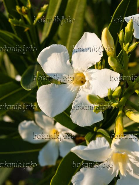 Bilder Oleander by Images Oleanders Images And Of Plants And Gardens
