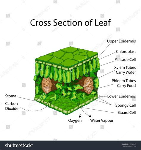 label the cross section of a leaf education chart biology cross section leaf stock vector