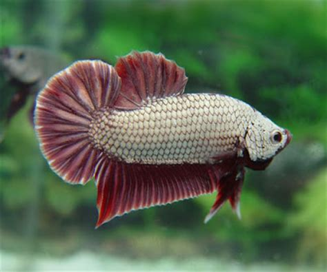 Pakan Ikan Cupang Halfmoon cantiknya ikan cupang aspal putih