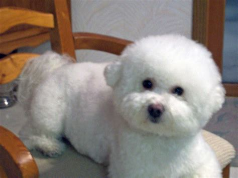 bichon puppies bichon frise puppy pictures and information puppy pictures and information