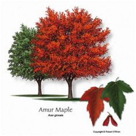 autumn blaze maple tree height 35 40 fall color and bright growth