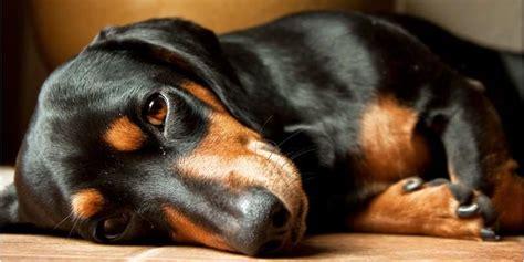cani tranquilli da appartamento cani da appartamento piccola taglia le razze perfette