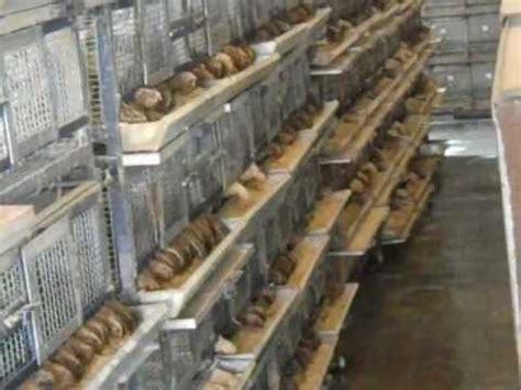 Quil Thailand quail farm fadelindia 8923471099 05921222211