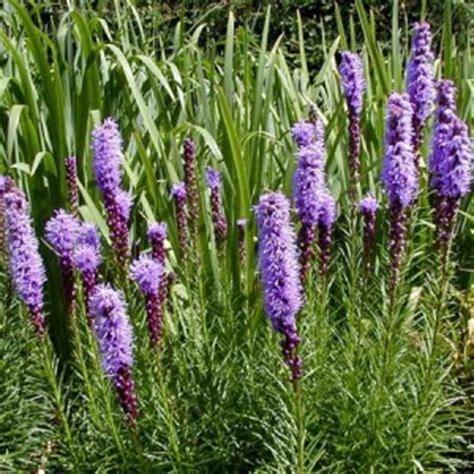 liatris wisconsin horticulture