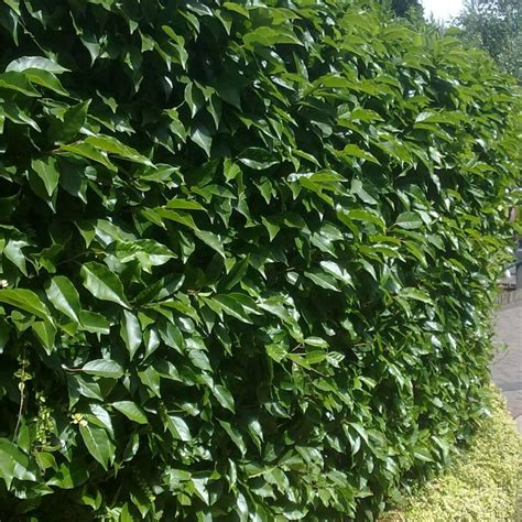 popular plants hedges buy cheap 28 images best 25 privacy trees ideas on privacy trees or
