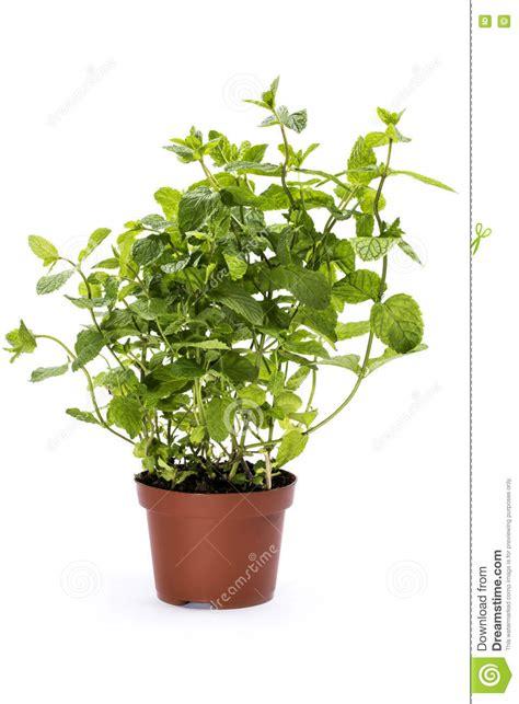 Scrub Tiff scrub scented mint in a pot stock photo image 77464792
