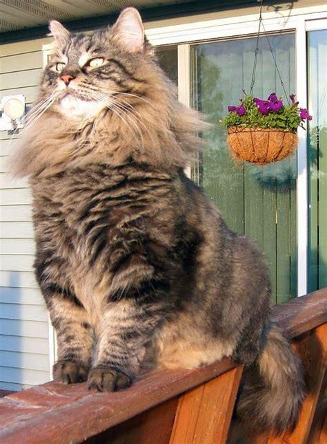 images  norwegian forest cat  pinterest