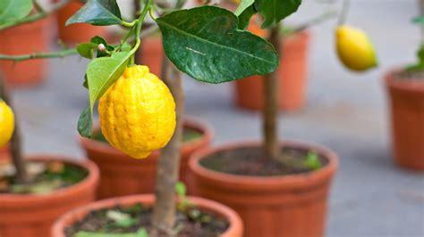 limoni in vaso concimazione come coltivare i limoni in vaso lifegate