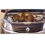 Giant Python Hides Under Car Bonnet In Kruger National