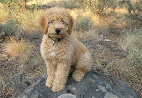 goldendoodle indianapolis the world s catalog of ideas