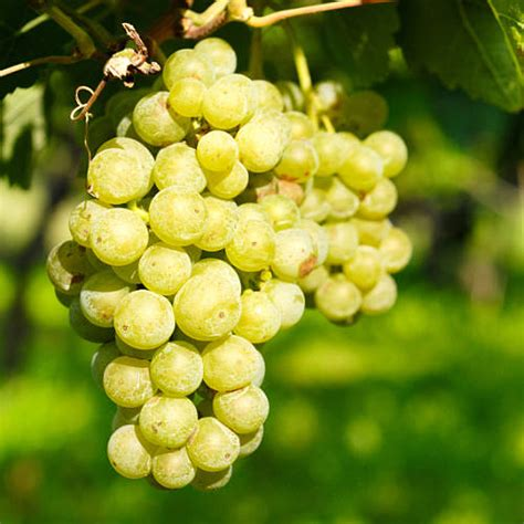 Grow Your Own Grape Vines by Grow Your Own Green Grape Vine By Giftaplant