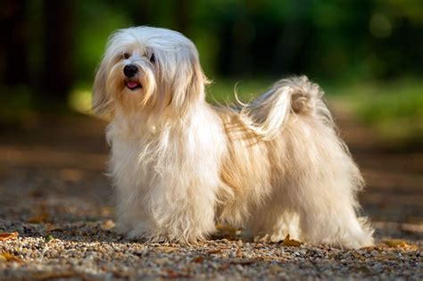 hair havanese top 10 haired breeds in the world 2018 dogmal