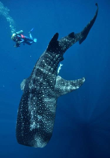 dive with whale sharks creature feature diving with whale sharks