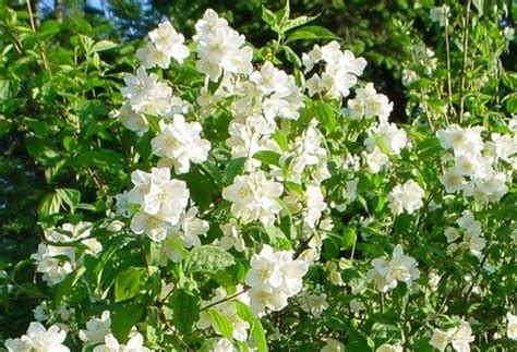 fast growing flowering shrubs flowers and weeds flowering shrubs to hide an fence
