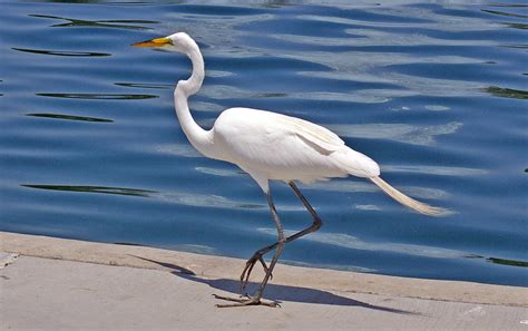 Great Egret Blue Heron Meaning