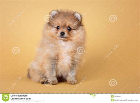 pomeranian spitz puppies pomeranian spitz puppy royalty free stock photography image 26035057