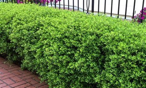 Bushes For Landscaping Landscaping With Evergreens