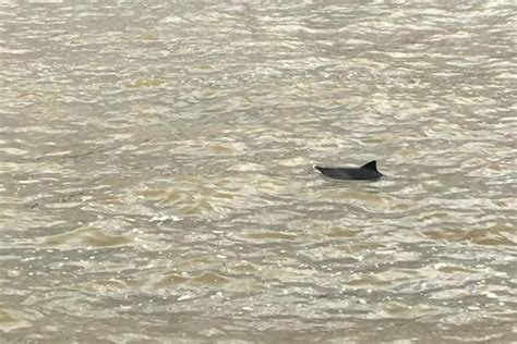 thames river dolphin baby dolphin spotted swimming in river thames near