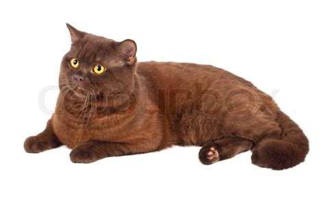 Small Log Home Floor Plans scottish fold chocolate cat on a white background stock