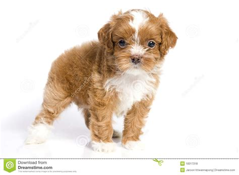 brown and white havanese puppies brown havanese puppy royalty free stock photos image 18317318