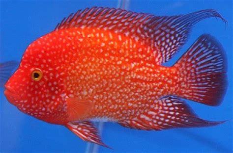 Pelung Untuk Mancing Ikan Baronang 8 macam umpan hidup jitu untuk mancing ikan umpan jitu ikan mancing mania
