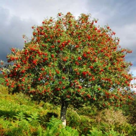 trees uk rowan trees for sale at trees direct