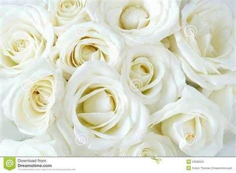 imagens de flores e rosas rosas brancas desenvolvidas macias fotos de stock imagem