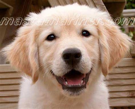 golden retriever puppies ta golden retriever puppy postcards postcards of golden retriever puppies