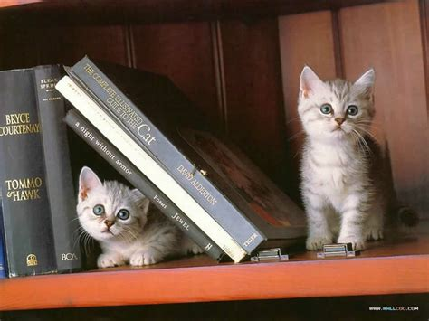 wallpaper cat book books cats kitty kat book ends animals cats hd desktop