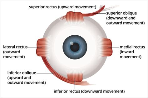eye muscles diagram strabismus surgery allaboutvision
