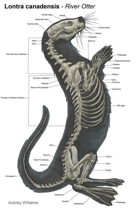 sea otter diagram animal anatomy