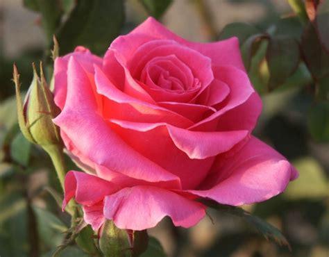 lade di sale rosa rina hugo hybrid tea