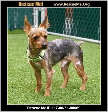 yorkie rescue ct connecticut yorkie rescue adoptions rescueme org