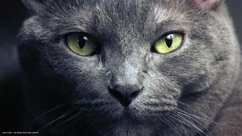 wallpaper blue cat purebred russian blue hd wallpaper russian blue cat hd