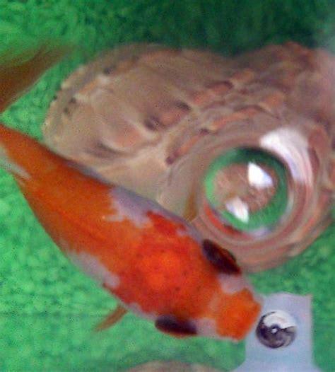puntini in testa puntini neri sulla testa mio pesce rosso