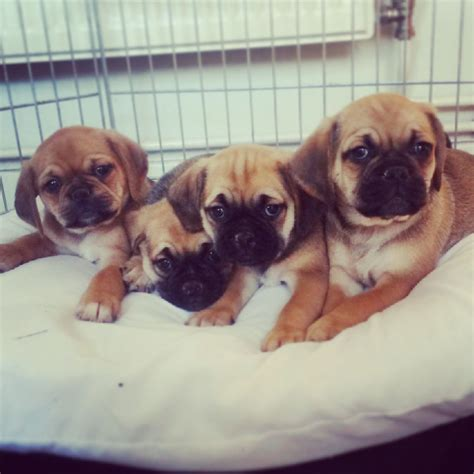 pug beagle for sale pug beagle puppy adelaide 12 10 2013 pug for sale breeds picture