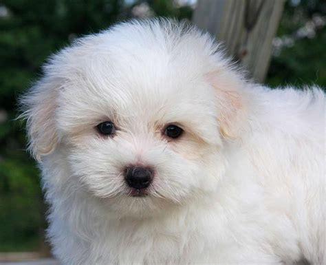 maltese information maltese dog breed 187 information pictures more