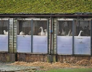 Duck Sheds by Duck Farmer Hit By Bird Flu Alert Supplies For Ready