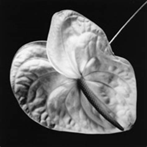 mapplethorpe fiori mapplethorpe fondazione marconi