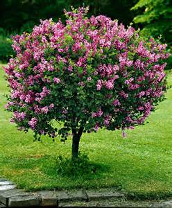 lilac tree dwarf standard lilac trees and shrubs from spalding bulb