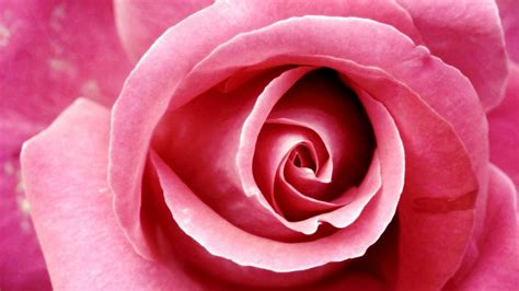 google pink roses beautiful pink rose google plus cover flowers cover
