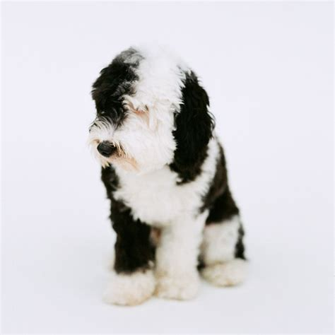 sheep doodle puppy 39 best images about doodle dogs on sheep dogs poodles and